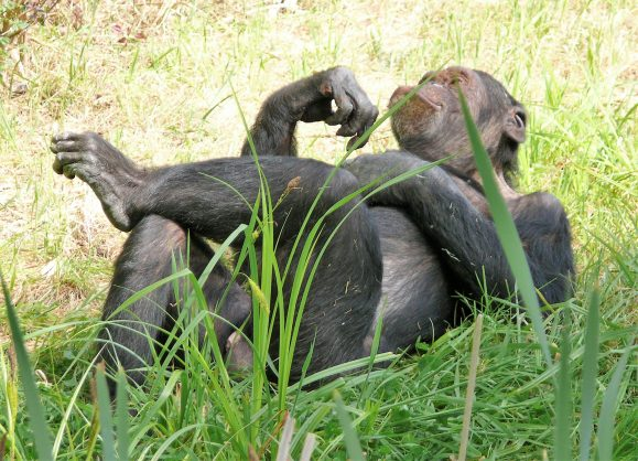 monkey laying in grass